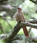 Drymornis bridgesii - Scimitar-billed Woodcreeper.JPG