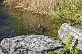 Duck (42348688021).jpg