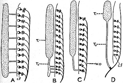 EB1911 Ichthyology - Connexion between Kidney and Testis in Various Groups of Fishes.jpg