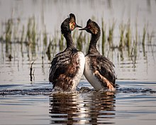 Two black-necked grebes in an upright posture in the water.