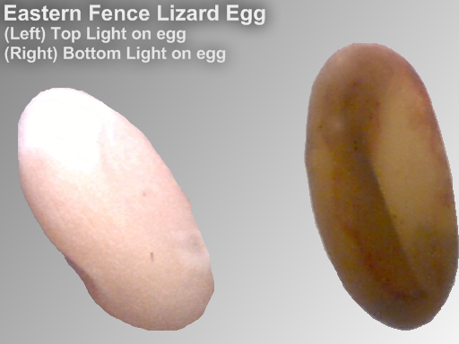 EasternFenceLizard Egg