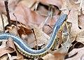 Eastern Garter Snake (191805631).jpeg