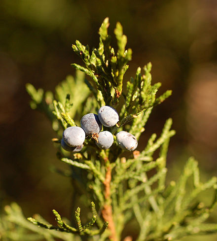 """Berries"" of the 'Corcorcor' cultivar Eastern Redcedar Juniperus virginiana 'Corcorcor' Berries 1800px.jpg"