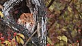 Eastern Screech Owl (30621287434).jpg