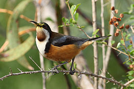 Eastern Spinebill444.jpg