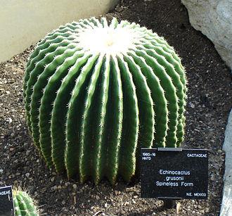 Echinocactus grusonii - Image: Echinocactus grusonii spineless form
