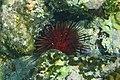 Echinometra lucunter around St. John.jpg