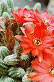 Echinopsis chamaecereus.2006-06-09.2.uellue.jpg