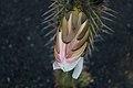 Echinopsis lageniformis bud.jpg