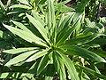 Echium callithyrsum (2009) - 2.jpg