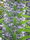 Echium piniana0