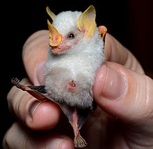 A Honduran white bat being held. The large nose-leaf easily separates it from the Diclidurus ghost bats. & Honduran white bat - Wikipedia