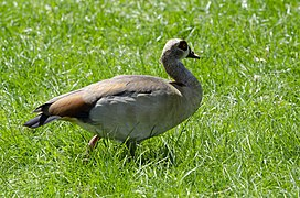 Egyptian Goose Urzig Mosel jun 2018 (4).jpg