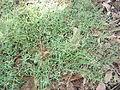 Einadia nutans subsp linifolia plant2 (16126547868).jpg