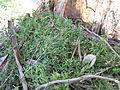 Einadia nutans subsp nutans plant2 (16312535241).jpg