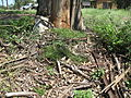 Einadia nutans subsp nutans plant4 (16128448547).jpg