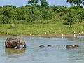 Eléphants-Uda Walawe National Park (6).jpg