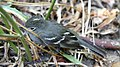 Elaenia albiceps.jpg