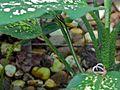 Elegant Bronzeback (Dendrelaphis formosus) (8077396348).jpg