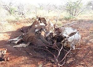 English: Elephant killed By poachers, Voi area...