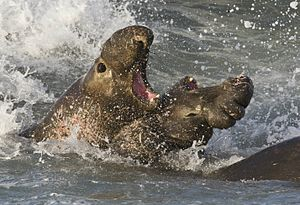 Elephant seals fighting.jpg
