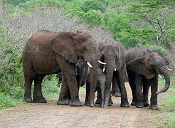 Elephants Hluhluwe Umfolosi Game Reserve.JPG