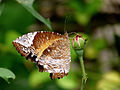 Elymnias hypermnestra female 2 by kadavoor edit.jpg