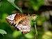 Elymnias hypermnestra female 2 by kadavoor edit.jpg