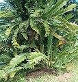 Encephalartos lebomboensis KirstenboshBotGard09292010B.jpg