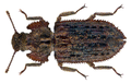 Endophloeus markovichianus (Piller & Mitterpacher, 1783) (22782298519).png