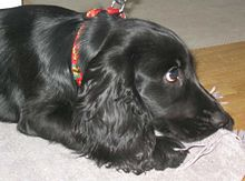 """A solid black English Cocker Spaniel lies on a towel on the floor looking off to the right. It is wearing a predominantly red, but multi colored collar."""