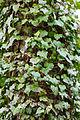 English ivy (25629828336).jpg
