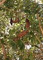 Entada phaseoloides fruit Beqa Fiji.jpg
