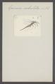 Epimeces - Print - Iconographia Zoologica - Special Collections University of Amsterdam - UBAINV0274 047 02 0008.tif