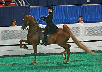 Equitation - A saddle seat rider on an American Saddlebred