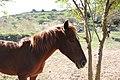 Equus ferus caballus (01).jpg