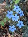 Eranthemum capense at Nedumpoil (16).jpg