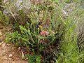 Erica abietina plant.JPG