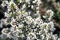 Erica canaliculata Rosea 2zz.jpg