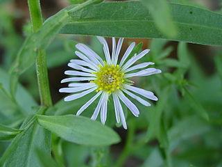 <i>Erigeron divergens</i> species of plant