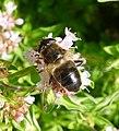 Eristalis sp. ( nemorum or arbustorum^) - Flickr - gailhampshire.jpg