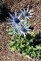 Eryngium amethystinum 'Sapphire Blue' kz2.jpg