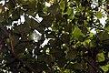 Erythrina poeppigiana 10zz.jpg