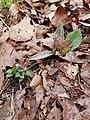Erythronium umbilicatum in fruit.jpg