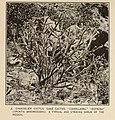 Ethnobotany of the Tewa Indians (1916) (14598409708).jpg