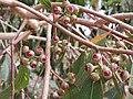 Eucalyptus bancroftii IMG 20180205 120324 1 (25219529127).jpg