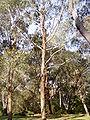 Eucalyptus benthamii 01.jpg