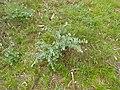 Eucalyptus bridgesiana (5371362026).jpg