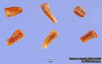 Eucalyptus - Seeds of Eucalyptus camaldulensis