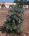Eucalyptus globulus g1.jpg